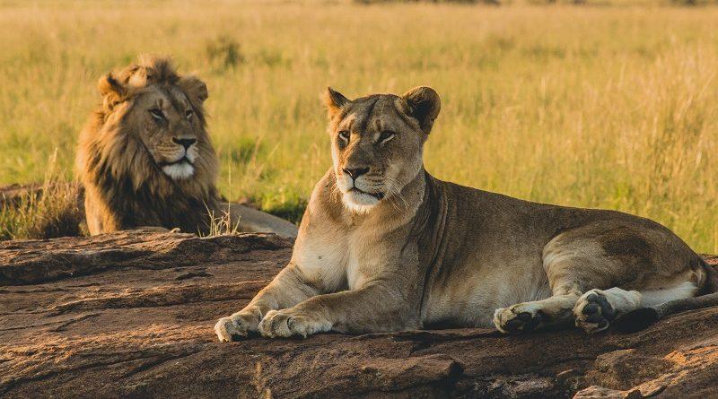 Caçadores de rinocerontes são devorados por leões na África do Sul
