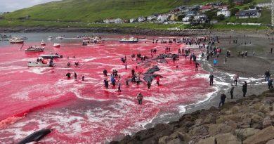 Mar de sangue em matança (legal) de baleias nas Ilhas Faroe