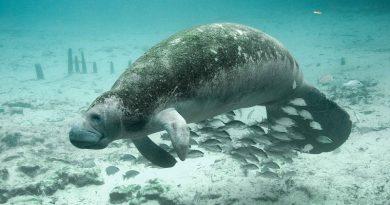 Número recorde de peixes-bois aparecem mortos na Flórida