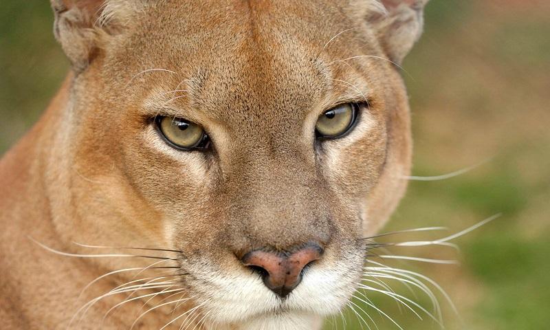 Vídeo mostra imagens brutais da caça a uma onça-parda no Paraná