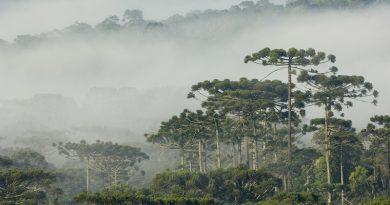 Brasil tem sete espécies de árvores em risco de extinção