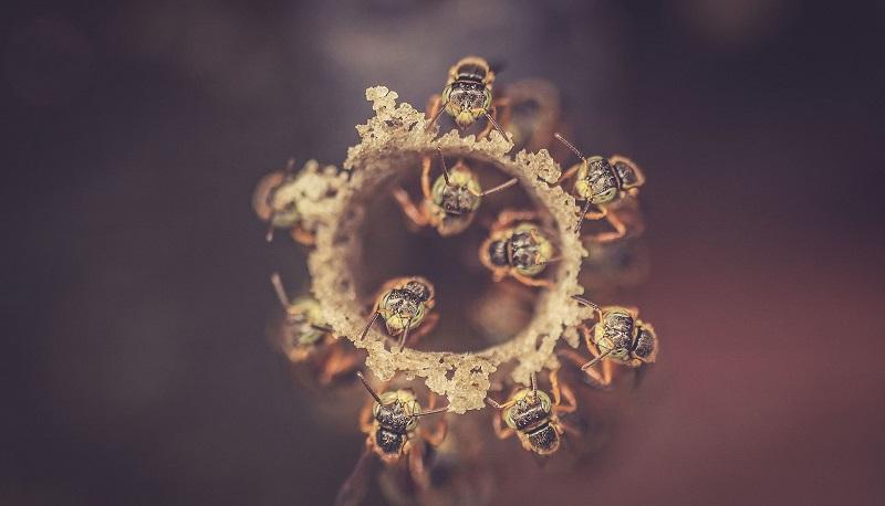 Abelhas coordenam estratégia de defesa da colmeia