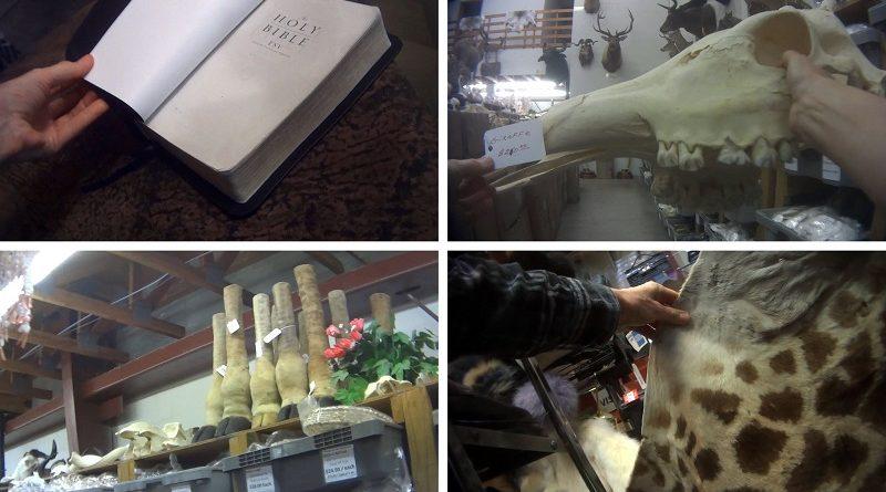 Mais de 4 mil girafas foram mortas para atender demanda de mercado com peças do animal nos Estados Unidos
