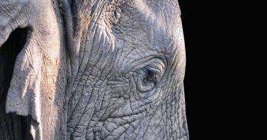 orelhão de elefante