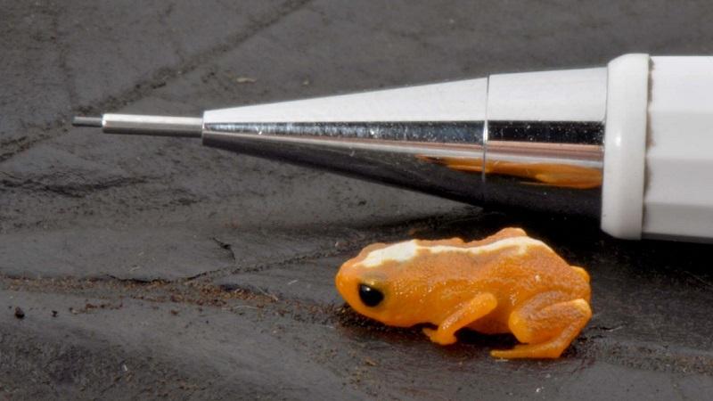 Descoberta nova espécie de sapo em Santa Catarina