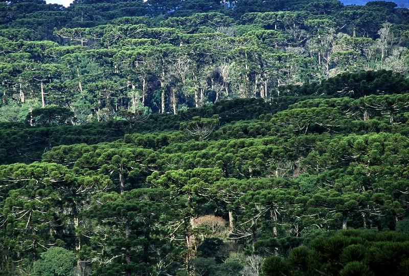 Projeto de lei ameaça a sobrevivência da já vulnerável Floresta com Araucária do Brasil