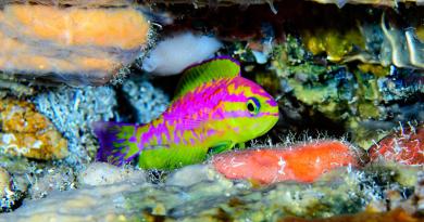 Nova espécie de peixe multicolorido é descoberta em águas profundas do Nordeste