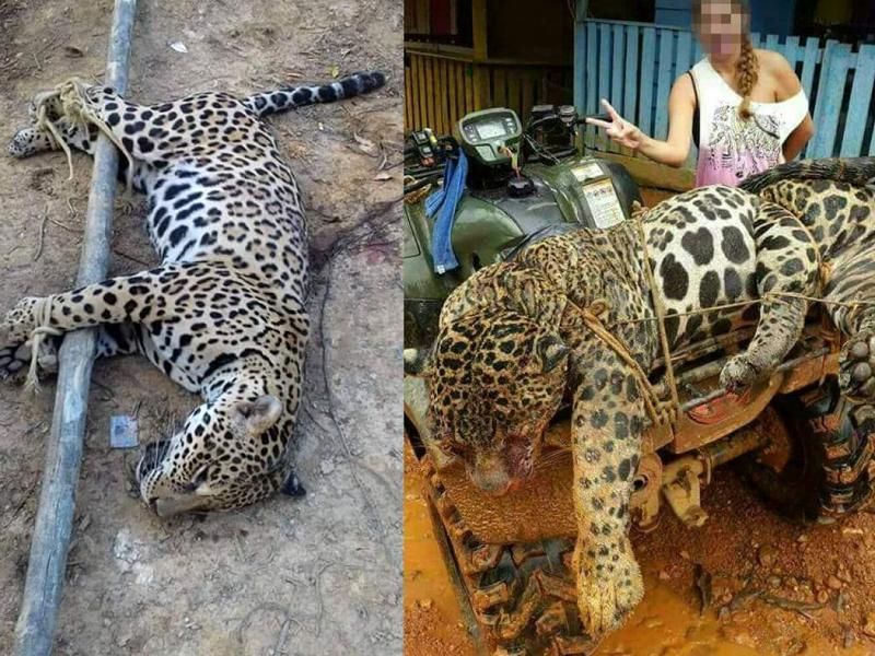 Onças brasileiras são mortas cruelmente e vendidas por traficantes no Suriname e na China