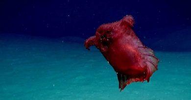 """Vídeo mostra flagrante de raro pepino-do-mar, conhecido como """"monstro da galinha sem cabeça"""", na Antártica"""