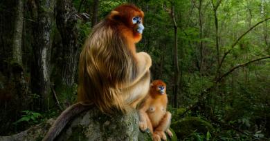 Registro cativante de casal de macacos ameaçado de extinção é grande vencedor do Wildlife Photographer of the Year 2018