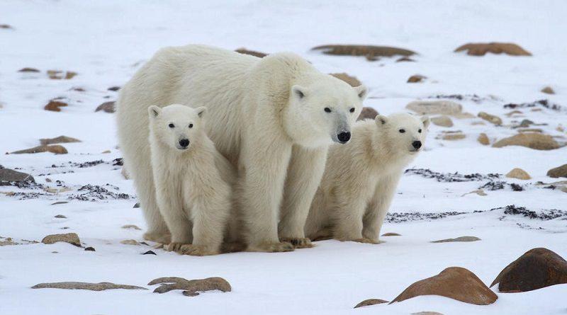 Cientistas celebram crescimento de subpopulação de urso polar no Ártico