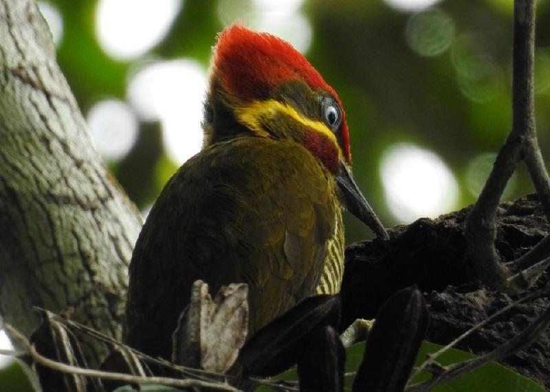 Biólogos celebram descoberta, em reserva na Bahia, de ninho de espécie de pica-pau em risco de extinção