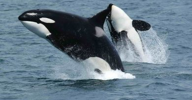Estado americano vai investir US$ 1 bilhão em programa para salvar baleias orcas da extinção