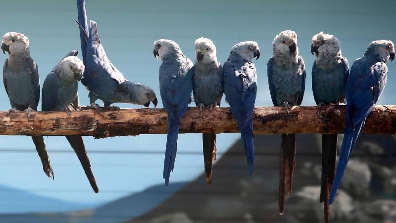 Chegada de 50 ararinhas-azuis no Brasil é confirmada para março de 2020