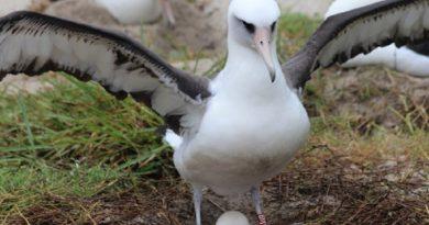 Mais velha albatroz do mundo vai ser mãe novamente aos 68 anos