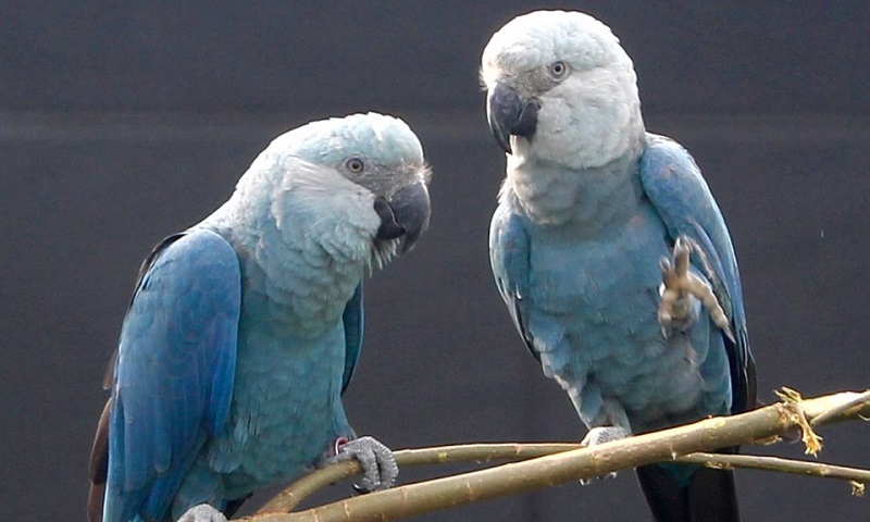 Nova denúncia reforça suspeitas sobre criador alemão de ararinhas-azuis