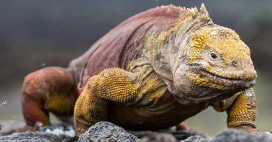 is de 200 anos, espécie de iguana é reintroduzida na Ilha de Santiago, em Galápagos