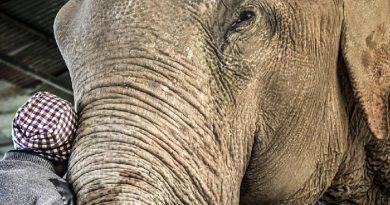 Índia inaugura primeiro hospital de elefantes do país