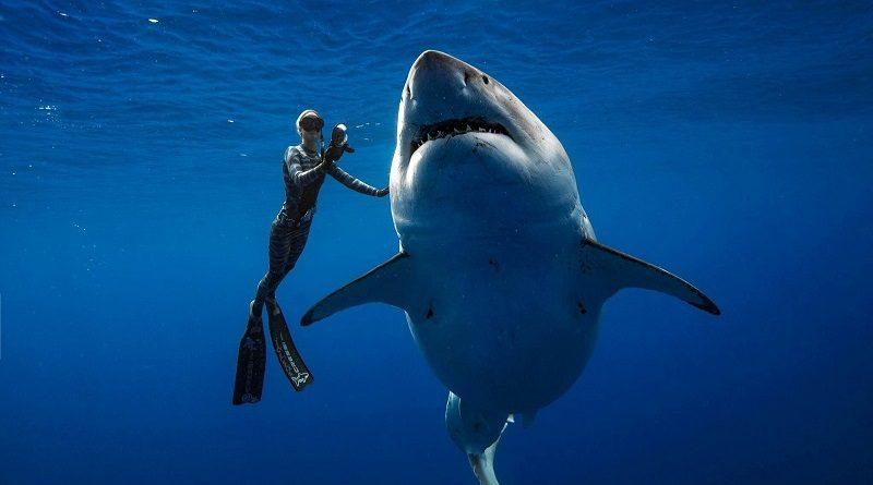 Majestoso tubarão branco é filmado nadando ao lado de mergulhador no Havaí
