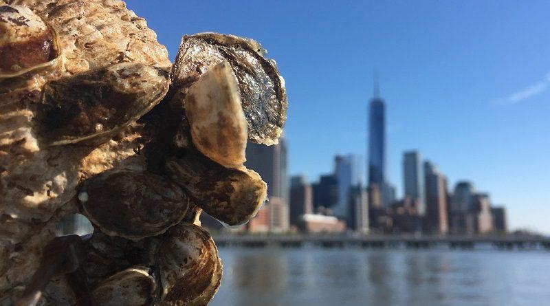 Projeto inédito usa ostras para limpeza da água do porto em Nova York