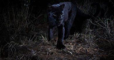 Pantera negra é flagrada em registros raros (e belíssimos) no Quênia