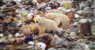 Ursos polares famintos invadem vilarejo em arquipélago na Rússia
