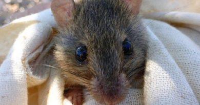 Pequeno roedor da Grande Barreira de Corais entra em extinção por causa das mudanças climáticas