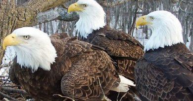Duas águias macho e uma fêmea formam família e cuidam juntos de seus filhotes