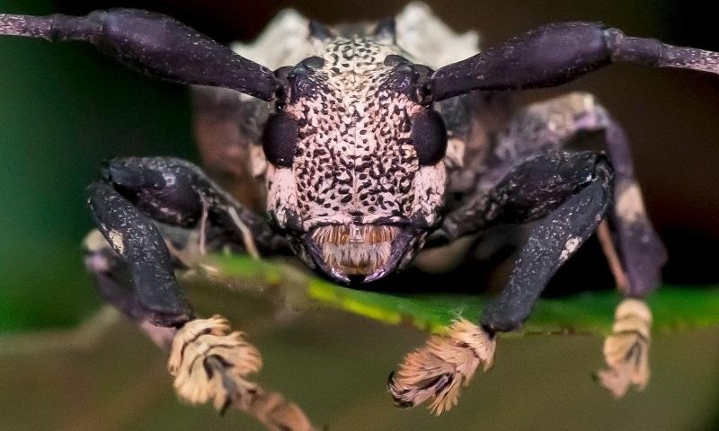 Espécie raríssima de besouro venenoso é encontrada no interior de São Paulo