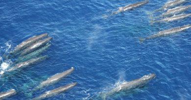 Grupo de 40 baleias cachalote é flagrado em registro raríssimo no litoral de São Paulo