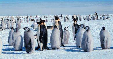 Segunda maior colônia de pinguins-imperadores do mundo desaparece da Antártica