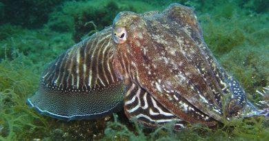 Aumento da temperatura dos oceanos pode prejudicar a visão, e até, cegar caranguejos, lulas e polvos