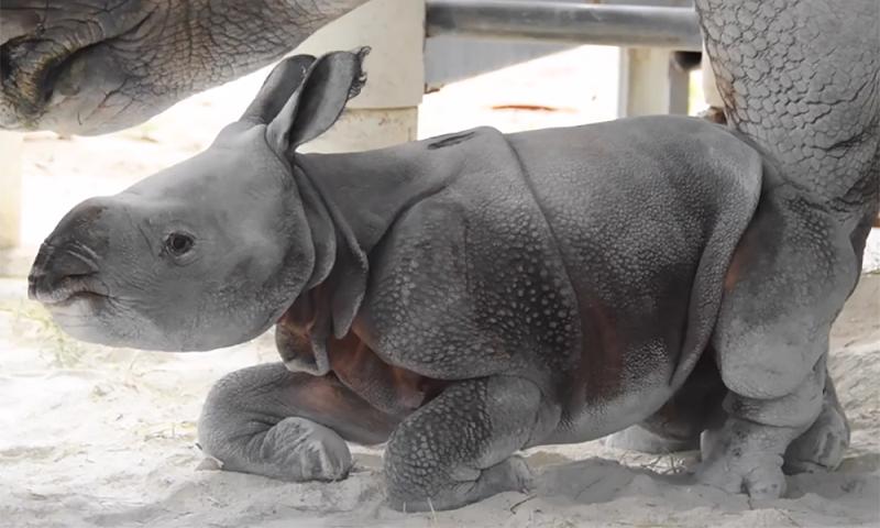 Biólogos celebram nascimento de rinoceronte raro com um chifre só