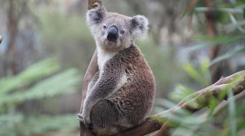 Especialistas alertam: para não desaparecerem, coalas devem ser classificados como 'ameaçados de extinção' na Austrália