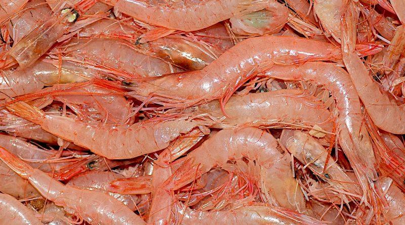 Em Angra dos Reis e Ilha Grande, no Rio de Janeiro, milícia incentiva e explora pesca predatória do camarão rosa