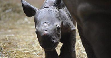 Nasce filhote de rara subespécie de rinoceronte negro em zoológico de Chicago