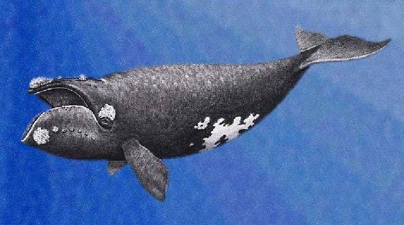 Cientistas conseguem gravar, pela primeira vez, canto da baleia mais rara do mundo