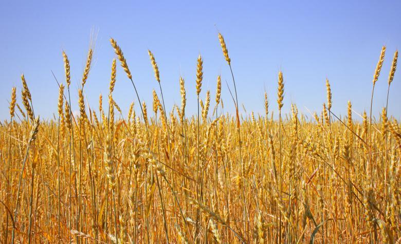 Haste de trigo: mais uma alternativa sustentável para substituir o canudo plástico