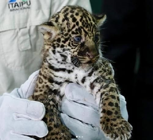 Nascem dois filhotinhos de onça-pintada em Refúgio Biológico de Foz do Iguaçu