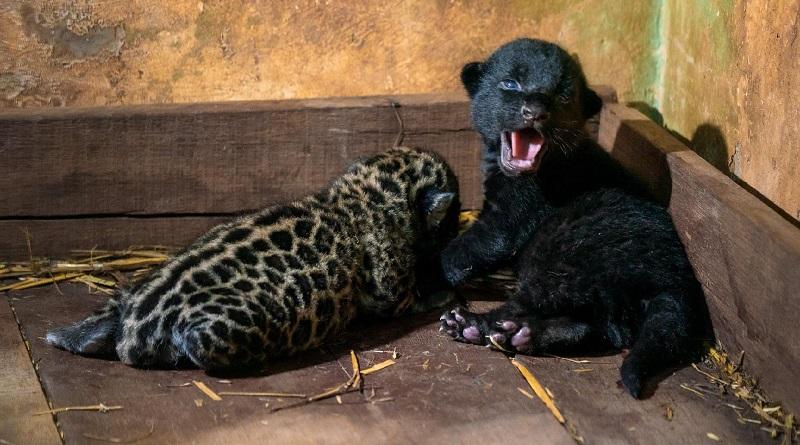 Flagrante de onça-pintada possivelmente prenha traz esperança para aumento da população da espécie