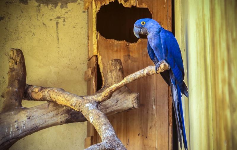 Arara-azul, espécie em risco de extinção, nasce em zoológico de Curitiba