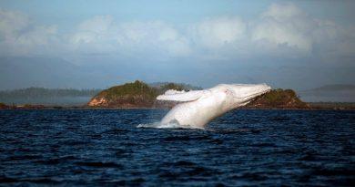 A baleia branca mais famosa do mundo é avistada na costa da Austrália