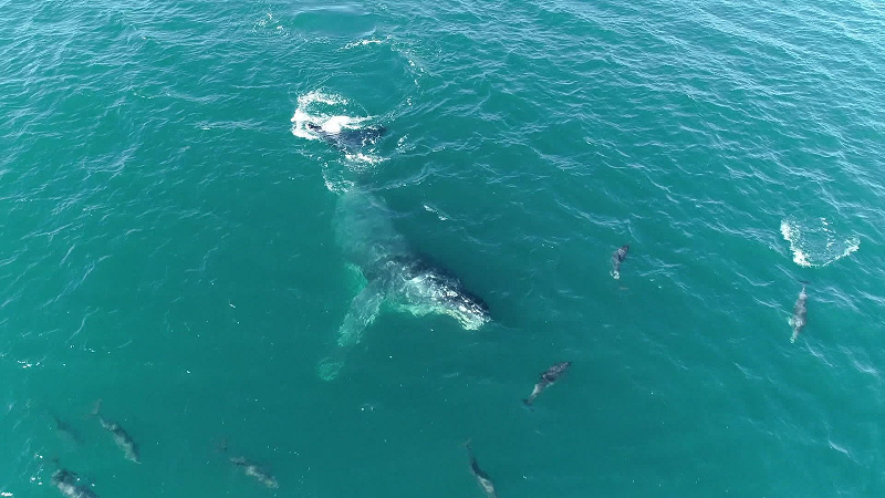 golfinhos encontraram jubarte