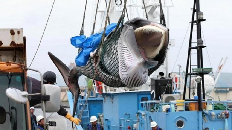 Japão volta a caçar baleias depois de 30 anos