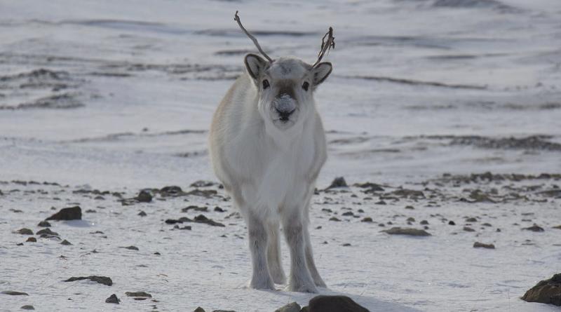 Mais de 200 renas morrem de fome em ilha no ártico norueguês devido ao aquecimento global