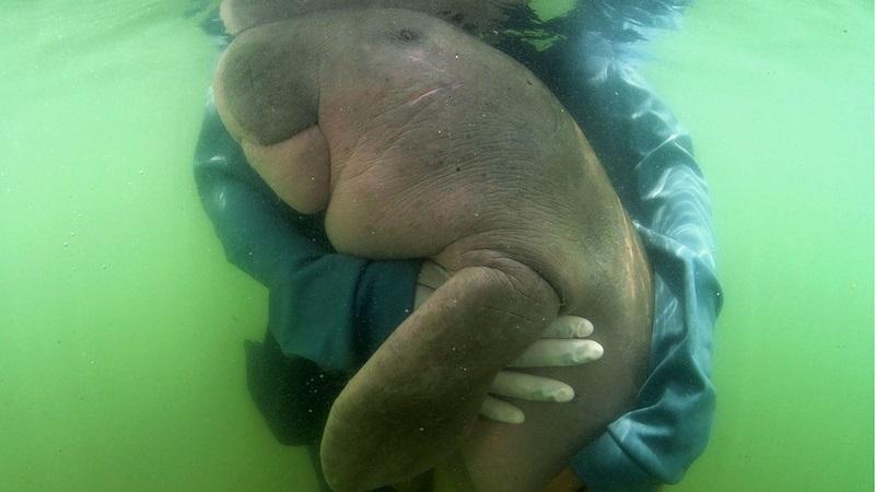 Espécie de peixe-boi, filhote de dugongo, famosa na Tailândia, morre com plástico no intestino