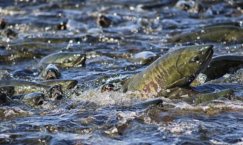 Espécies de salmão estão morrendo no Alaska por causa da alta temperatura da água