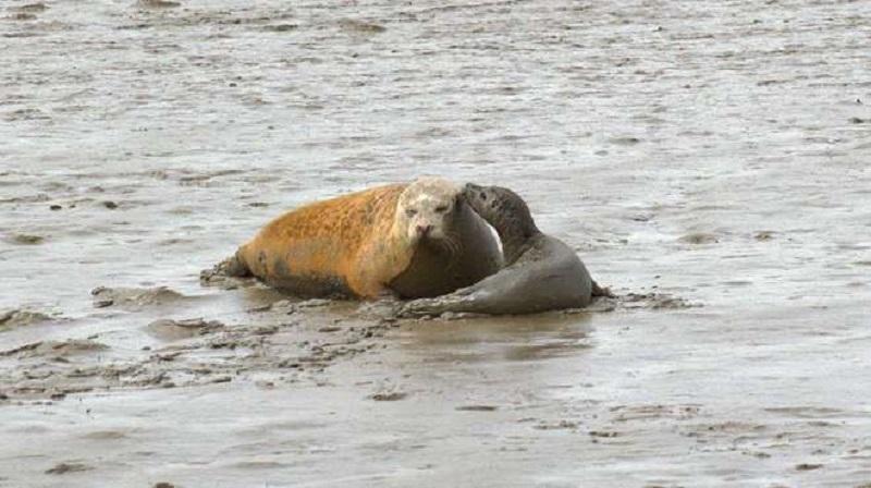 Só em 2019, mais de 100  focas nasceram no Tâmisa, rio inglês considerado morto há 60 anos