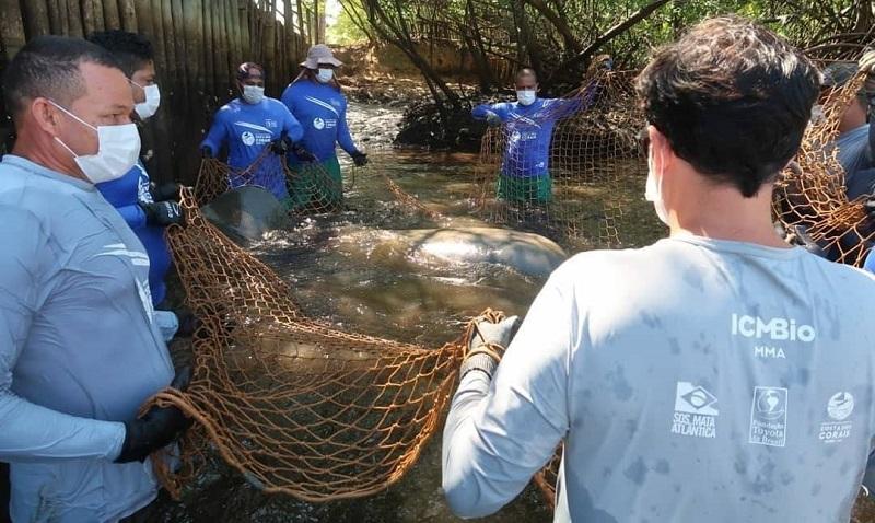 Depois de oito anos, peixe-boi Raimundo é solto na natureza novamente