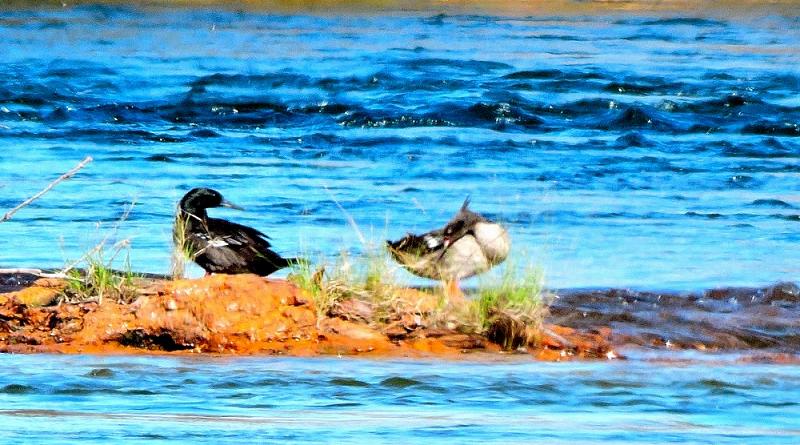Em expedição na região do Jalapão, em Tocantins, biólogos avistam vários patos-mergulhão, espécie rara e ameaçada